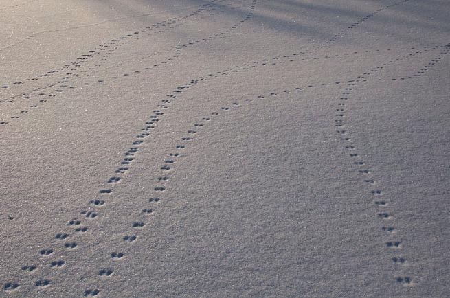 animal-tracks-victoria-island-ottawa