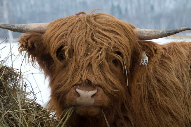 hippie-cow-quebec
