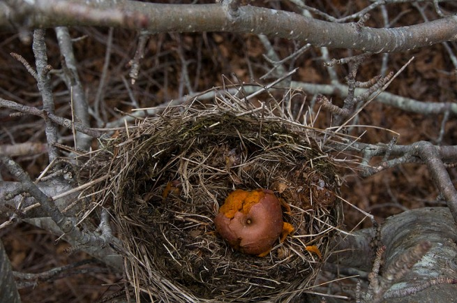 apple-in-birds-net-chester