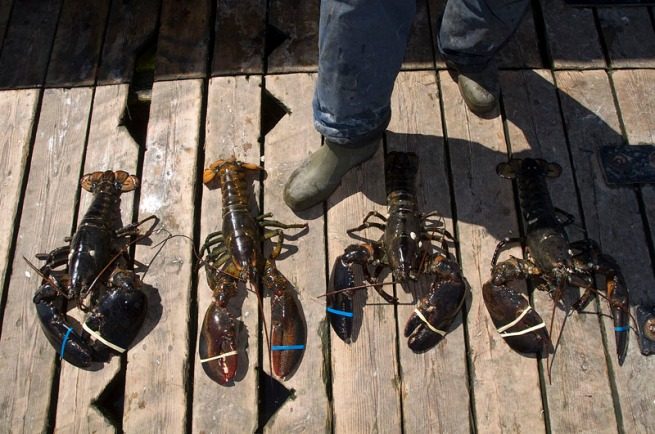 yarmouth-large-lobsters-on-dock