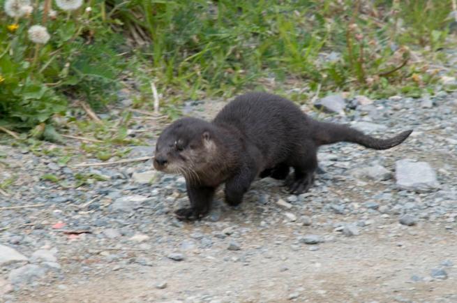 otter in quidi vidi