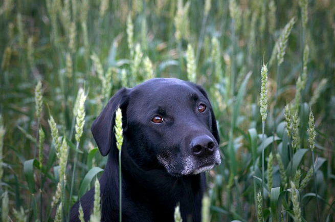 bo in wheat field