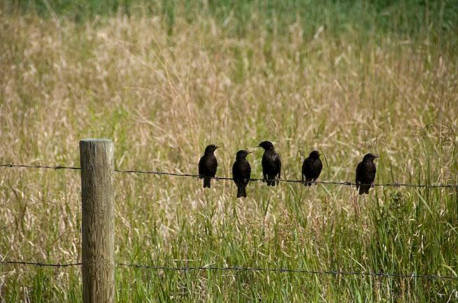Tim Van Horn birds on  Fence