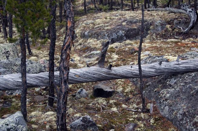 fallen pine tree_tim van horn